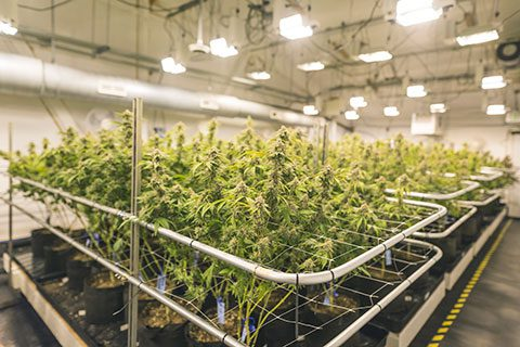 Cannabis Legalization in Canada - Criminal Lawyer Winnipeg - Criminal Law Winnipeg - DUI - Drug Charges - Pollock & Company